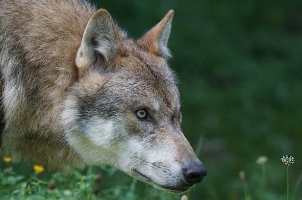 """Antoine Nochy : """"le modèle français de gestion du loup n'est pas adéquat"""""""