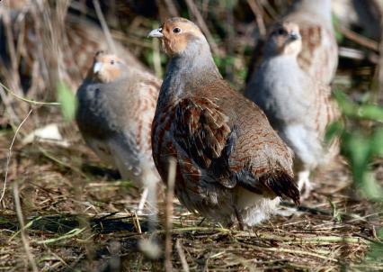 À Versailles, le GIC de l'Oisemont cultive les royales perdrix