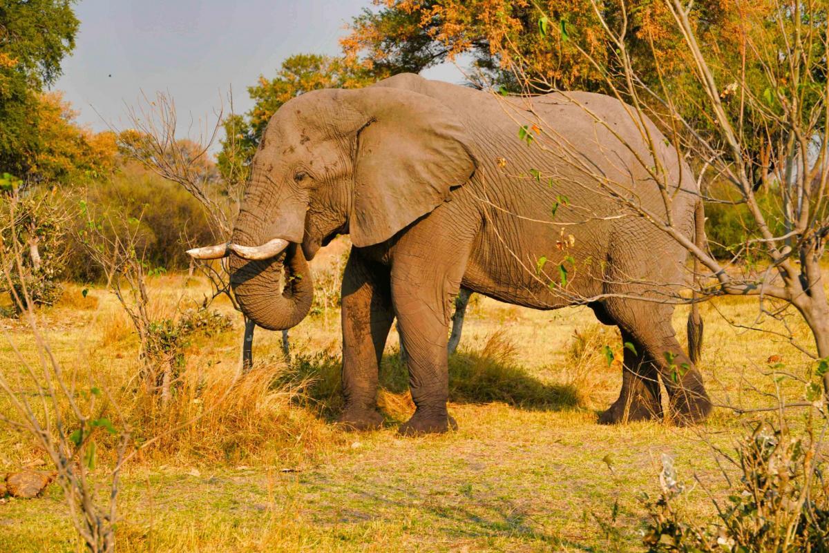 Afrique : Le Botswana abrite un tiers des éléphants d'Afrique