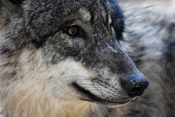 Le retour du loup : qu'en penser ?