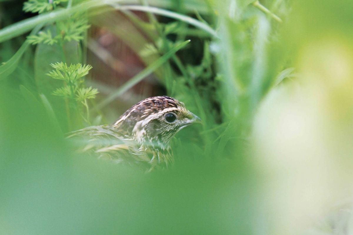 Les cailles des blés à l'honneur